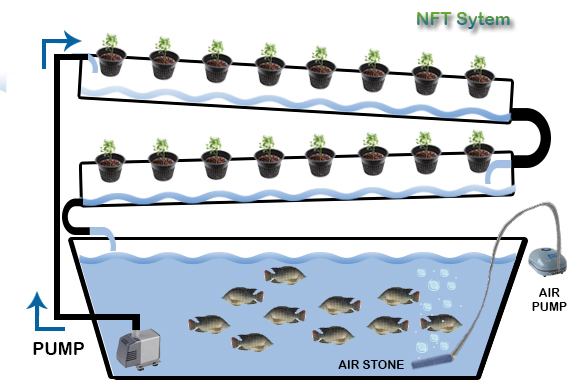 Aquaponics setup with nft system recirculating in the fishtank.